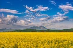 美好的与五颜六色的明亮的黄色油菜籽芸苔napus庄稼和剧烈的深蓝色多云天空的春天自然风景和 库存照片