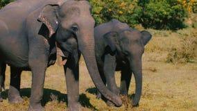 美好的可爱的图片,两头狂放的大象,平安地吃在夏天大草原的母亲和婴孩家庭绿草 股票视频