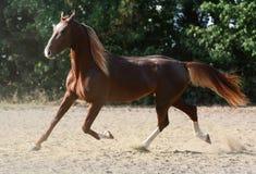 美好的红色马奔跑在自由夏天 库存图片