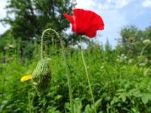 美好的红色鸦片花关闭在绿草 免版税库存照片