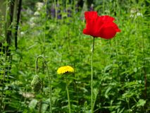 美好的红色鸦片花关闭在绿草 图库摄影