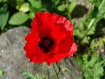 美好的红色鸦片花关闭在绿草 库存照片