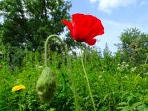 美好的红色鸦片花关闭在绿草 免版税图库摄影