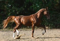 美妙的红色公马奔跑在自由夏天 免版税库存图片