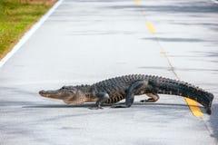 美国短吻鳄横穿一条路在沼泽地国立公园 佛罗里达 美国 免版税库存图片