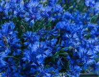 矢车菊美丽的花在巨大的花束的 免版税库存图片