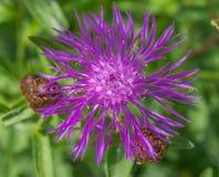 矢车菊jacea褐色黑矢车菊属或brownray黑矢车菊属特写镜头 开花在春天的花 免版税图库摄影