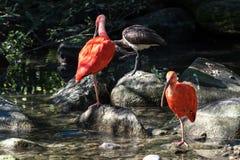 猩红色朱鹭, Eudocimus ruber 野生生物动物在动物园里 库存照片