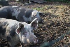 猪在一个农场的泥土地站立在Oldebroek在荷兰 免版税库存照片