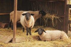 猪在它的后腿站立,基于模板小牧场 绵羊在仓库广场 免版税库存图片