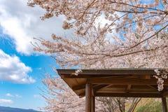 眺望台和盛开美丽的桃红色樱花花 免版税库存照片