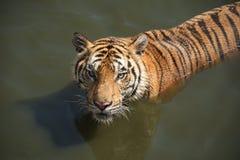 看受害者的美丽的老虎 图库摄影