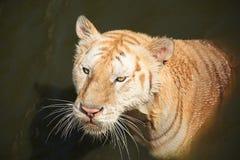 看某人的老白色老虎 免版税库存图片
