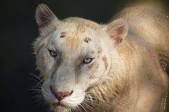 看您的美丽的白色老虎 图库摄影