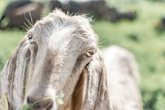 看照相机的一只幼小白色山羊的特写镜头画象 正面图 本国山羊英国人努比亚人品种  库存照片