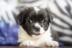 看照相机的可爱的矮小的杂种小狗 免版税库存照片