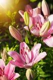 的明亮的百合开花在庭院里的观点 关闭百合花 图库摄影