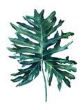 热带棕榈叶- monstera水彩图画  手拉的艺术可以为海报、wallpapes、背景和明信片使用 库存例证