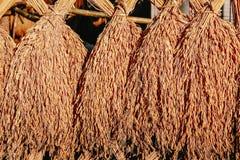 烘干捆绑最近被收获的米在阳光下 库存照片