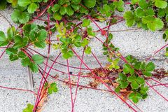爬行在一条水泥小路的红色藤植物 库存图片