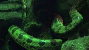 爬行动物蛇野生生物 股票视频