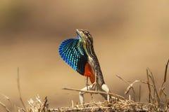 爱好者红喉刺莺的蜥蜴,Sitana ponticeriana,Talegoan,马哈拉施特拉,印度 免版税图库摄影