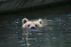 熊在水中 免版税库存图片