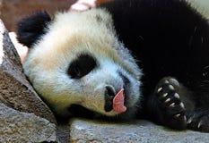 熊猫在热诚的午餐以后是睡着 关于好吃的梦想 图库摄影