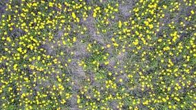 照相机调低向美丽的明亮的开花的蒲公英 影视素材