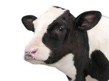 牲口-在白色背景隔绝的小牛母牛 免版税图库摄影
