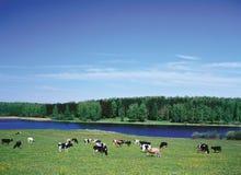 牲口-牛牧群在牧场地拥挤 免版税库存图片