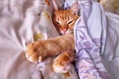 狡猾的扫视姜a 睡觉在床的一个舒适位置的红色猫 免版税图库摄影
