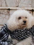 狗在花岗岩地板穿上了围巾 库存照片