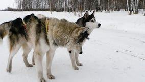 狗利用了雪撬 股票视频