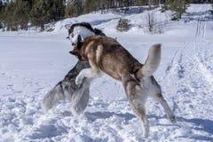 狗戏剧 两条在雪的西伯利亚爱斯基摩人狗滑稽的戏剧 库存照片