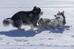 狗戏剧 两条西伯利亚爱斯基摩人狗充当雪 库存图片
