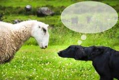 狗遇见绵羊,拷贝空间,演说序幕 图库摄影
