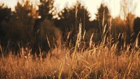狂放的干草原接近的看法通过金黄耳朵和草在太阳眨眼 影视素材