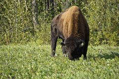 狂放的北美野牛在育空 库存图片