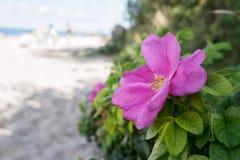 狂放的玫瑰色花在一个晴朗的夏日 免版税库存照片