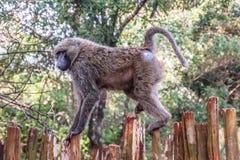 狒狒在木篱芭走 库存照片