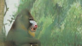 狒狒某事咬与锋利的牙齿hamadryad 狒狒 影视素材