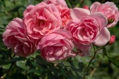 相当桃红色玫瑰花束在一个植物园里 1 免版税库存照片