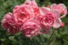 相当桃红色玫瑰花束在一个植物园里 2 库存照片