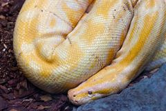 白印度岩石Python Python molurus白变种 免版税图库摄影