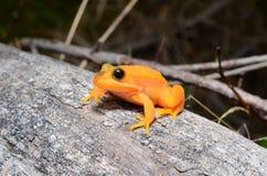 白变种青蛙在分支 免版税库存图片
