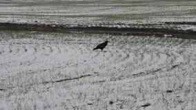 白嘴鸦啄在雪的食物 股票视频