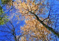 Golden birch branches and blue sky stock images
