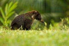 白被引导的浣熊-美洲浣熊narica,叫作家庭浣熊科浣熊的长鼻浣熊、成员和他们的亲戚 图库摄影