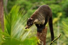 白被引导的浣熊-美洲浣熊narica,叫作家庭浣熊科浣熊的长鼻浣熊、成员和他们的亲戚 免版税图库摄影